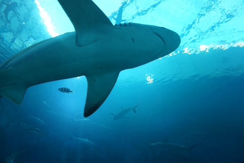 ダイビングとサメ|事例や対策を理解し安全に楽しむ方法